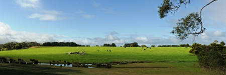 Panorama of cows herd og hill with green grass, eucalyptuses and little pond, clouds in background in Victoria, Australia photo