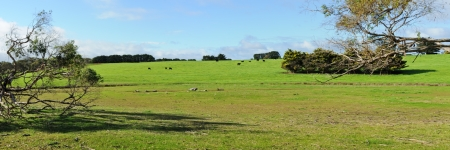 Panorama of cows on green hill with tree brunches on sides, clouds on blue sky in background in Victoria, Australia photo