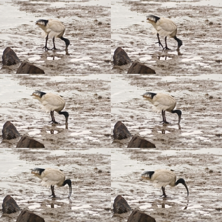 Sequence of six frames of Australian white ibis digging deep his bill in sand on swamp lifting one leg and reverse Stock Photo - 16664028