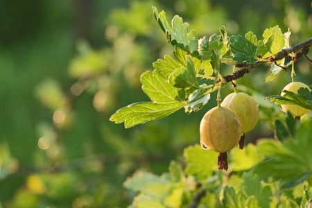 gooseberry bush: Fresh green gooseberries on brunch with drops of water in sunlight and blurred bush in background Stock Photo
