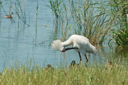 bowing head: White Australian royal spoonbill bowing to cleaning itself with long feathers  spreading his head, reflections in water, grass and reed in background