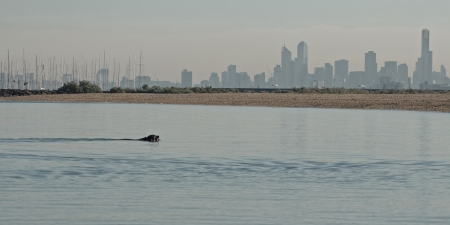 Black dog swimming in calm water in Port Phillip in bay with view on sailboat masts and Melbourne city silhouette in morning haze in background in Victoria, Australia photo