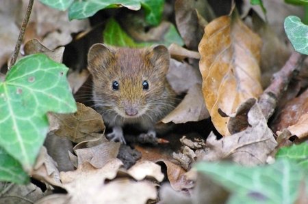 musculus: Mouse I Stock Photo