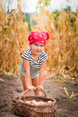 bandana girl: Baby girl on the garden with harvest of potatoes in the basket near field of dry corn on background. Dirty child in red bandana and stripe tee collects potato harvest in the basket.