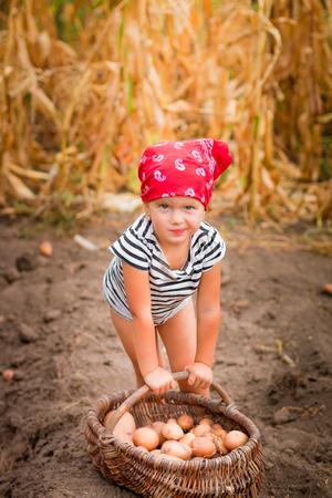 Baby girl on the garden with harvest of potatoes in the basket near field of dry corn on background. Dirty child in red bandana and stripe tee collects potato harvest.