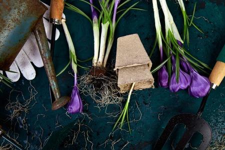 Gardening tools, peat pots, crocus flower. spring Stock fotó
