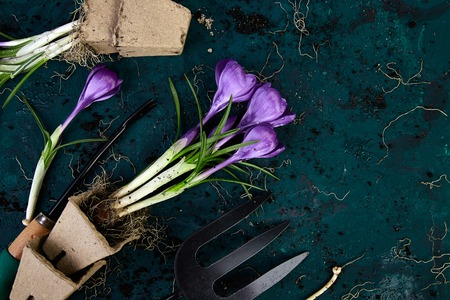 Gardening tools, peat pots, crocus flower and young seedlings, watering can on a green background. Concept of spring gardening. Top view. Copy space.