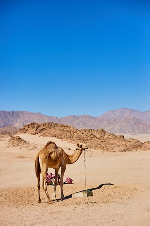One Camel stay on a desert land with blue sky on the background. Imagens