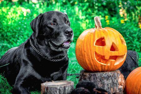 Black labrador near Jack-o-Lantern outdoors. Halloween. Dog with pumpkins. Фото со стока