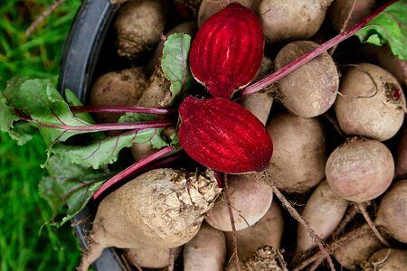 Świeże buraki organiczne z zielonymi liśćmi w koszu. Burak po zbiorze z ogrodu wiejskiego. Ogrodnictwo wiejskie. Bio produkty zdrowy styl życia.