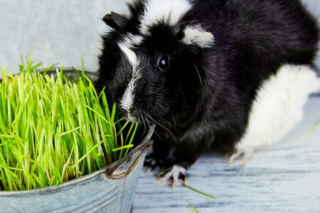Blacck guinea pig near vase with fresh grass. Studio foto. Banco de Imagens