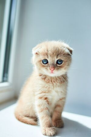 British little playful kitten at home near the window, Scottish kitten, Funny redhead cat.