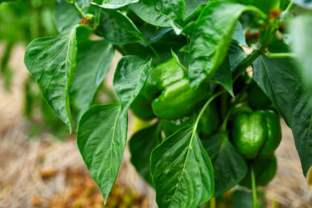 Green peppers growing in the garden outdoor, agriculture, autumn harvest.