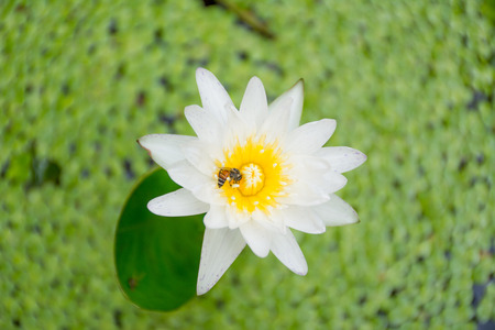 bee swarm: Bee on lotus flower,bee swarm water lily, lotus in nature,bee on lavender lily from a high angle. Stock Photo