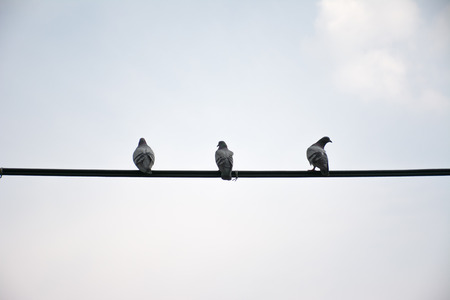 Pigeons on wires evening, use for feel lonely concept