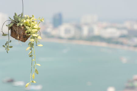 ivy hanging: Hanging decorate green ivy plants with beach and town in background