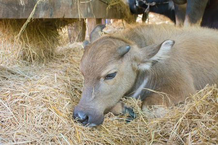 corral: The beautiful thai baby buffalo in corral.