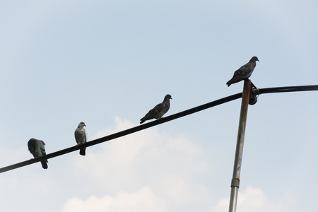 pigeons: Pigeons on wires evening, use for feel lonely concept