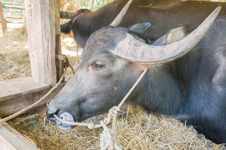 corral: The beautiful thai buffalo in corral.