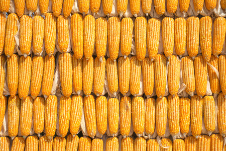 Corn maize cobs during harvesting season,use for background.
