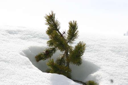 albero: Arbusto nella neve Stock Photo