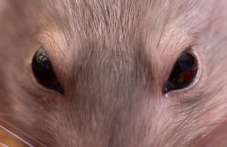 Close-up eyes of a mouse