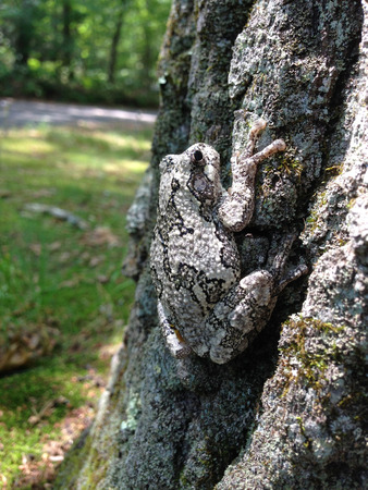 grey gray camouflaged tree frog toad blending in on tree trunk