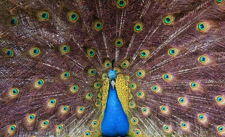 courting: Colourful peacock showing feathers Stock Photo