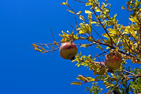 Pomegranate tree against clear blue sky photo