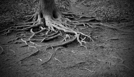Twisted roots of very old tree photo