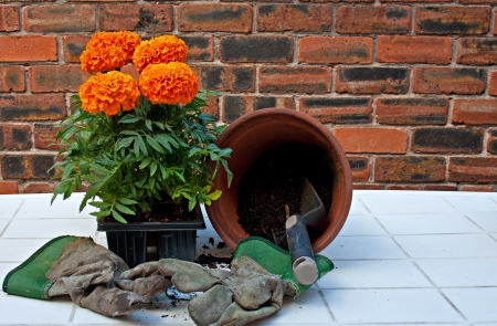 transplanting: Transplanting African Marigolds into pots