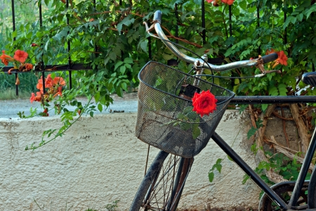 Red rose in basket of old rusty bicycle photo