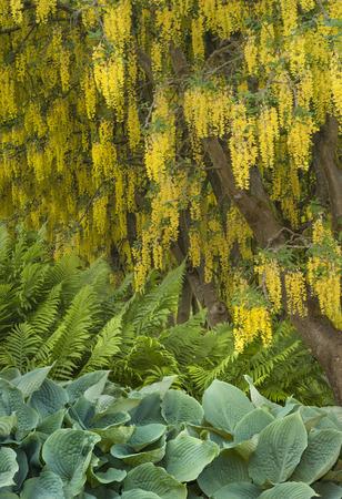 Yellow Laburnum Tree flowers drapine overtop of ferns and hosta plants. Vandusen Botanical Garden, Vancouver, British Columbia, Canada
