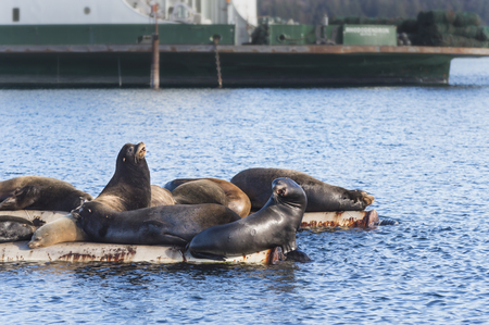 California Sea Lions hauled out on log booms at Fanny Bay, Vancouver Island, British Columbia, Canada. In the springtime these marine mammals follow schools of Herring fish and are annual visitors to this location. Stock Photo