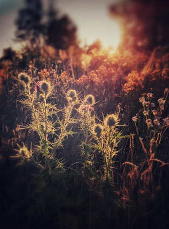 Meadow of thistles and dried grass backlit by golden hour sunlight.
