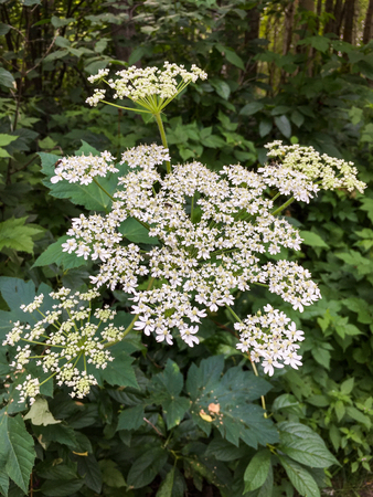 Delicate lacey white flowers of Cow Parsnip,Heracleum maximus, in woodland. Stock Photo