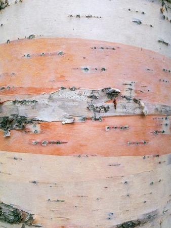 Closeup of peeling bark on Paper Birch, Betula papyrifera, tree trunk, Canada.