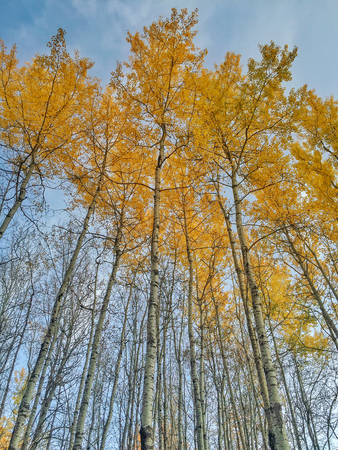 Stand of fall Poplar trees with Golden leaves of Fall. Alberta, Canada.