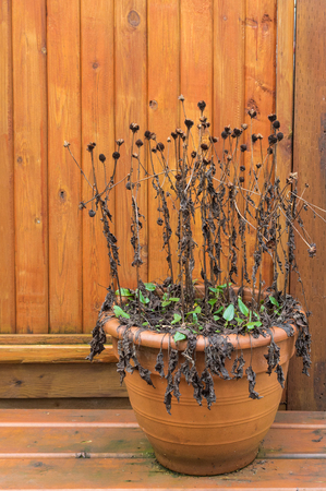Neglected Black Eyed Susan, Rudbeckia plant, left to overwinter