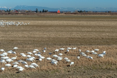 Wintering Lesser Snow Geese, Chen caerulescens, feeding and resting in farm field, Brunswick Point, BC, Canada. 版權商用圖片