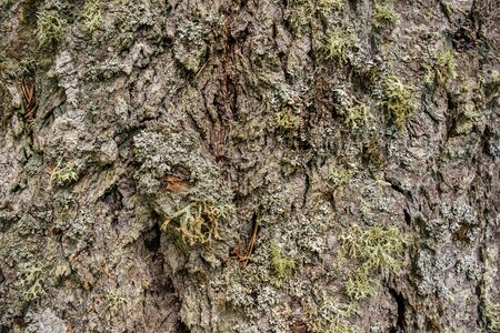 Detail of various lichen species growing on bark of Douglas Fir tree