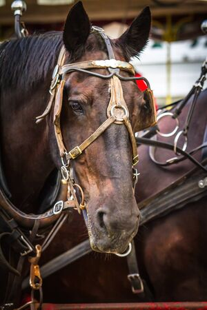 Photograph of Brown horse head looking forward Stock Photo