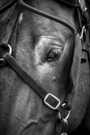 Photograph of a horses eye and head with harness on.