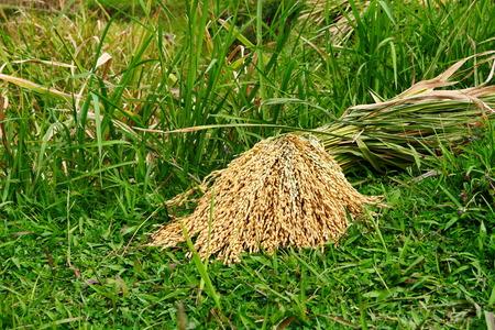 bundle: a bundle of rice harvested