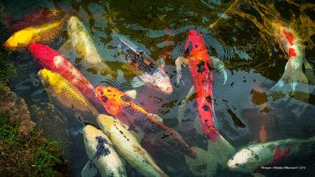Muti-Colored Carp Feeding