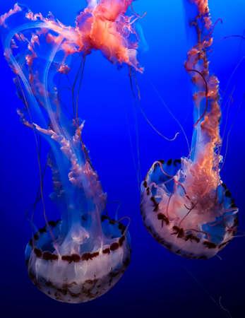 Gracefulness and beauty of jellyfish 版權商用圖片
