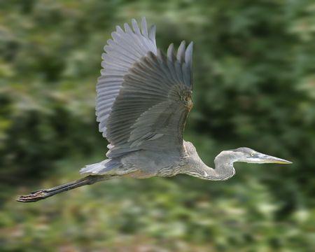 Great Blue Heron im Flug mit Wald Hintergrund unscharf  Standard-Bild