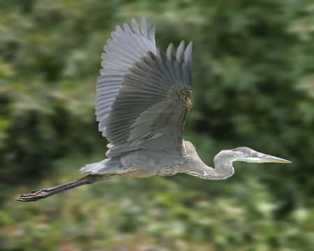 Great Blue Heron in flight with blurred forest background