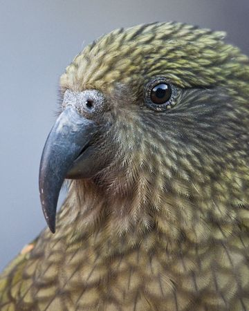 hooked up: Close up of a Kea in New Zealand