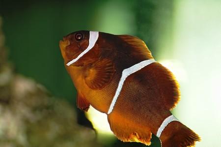 false percula clownfish: Clown Fish